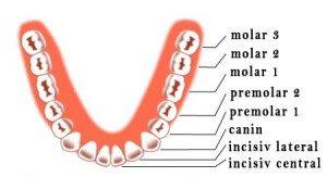 eruptie-dinti-permanenti-mandibula