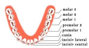 eruptie dinti permanenti mandibula